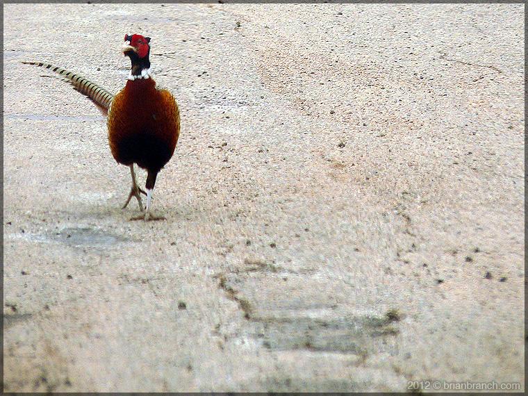 P1230691_pheasant