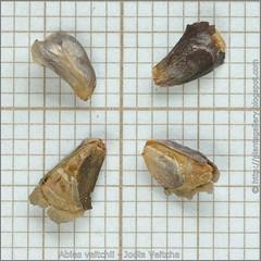 Abies veitchii seeds - Jodła Veitcha nasiona