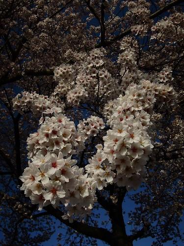 2012年 桜