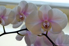 flower, purple, plant, lilac, macro photography, phalaenopsis equestris, flora, moth orchid, close-up, pink, petal,