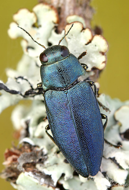 Phaenops cyanea И 12