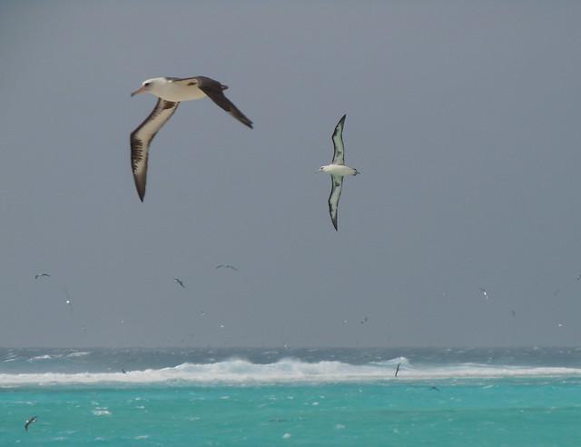 laysan albatross in flight, Sand Island