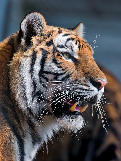 Tiger With Open Mouth Flickr Photo Sharing