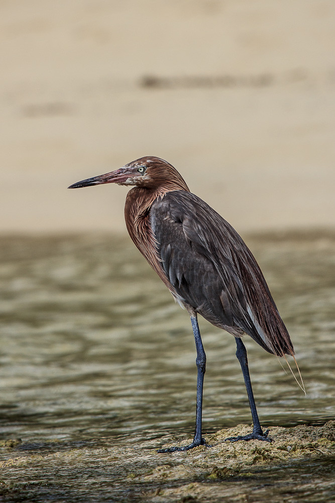 Reddish Egret - South Andros