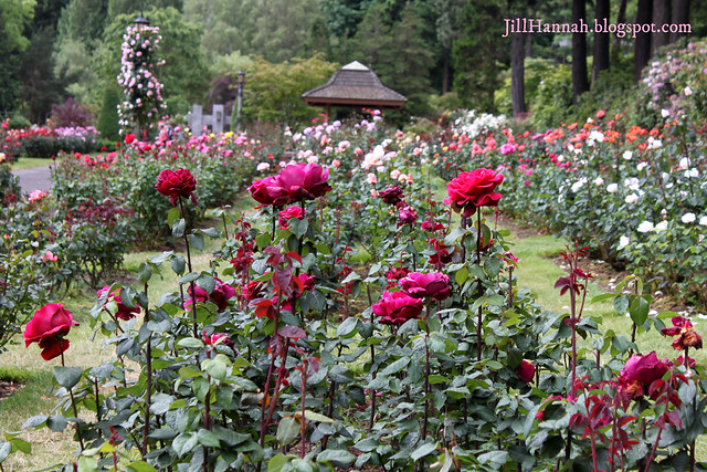 Rose Garden At Washington Park Portland Oregon 2