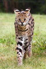 [フリー画像素材] 動物 1, 哺乳類, サーバルキャット, 怒る ID:201211201000