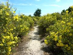 Le sentier d'accès à la plage traverse une forêt de cistes jaunes (hélianthèmes à feuilles d'arroche)