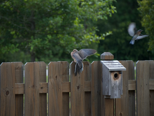 bird unitedstates southcarolina mourningdove goosecreek zenaidamacroura easternbluebird sialiasialis