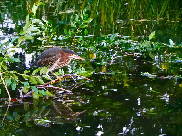Green heron (Butorides virescens). Credit: Richard Pallardy