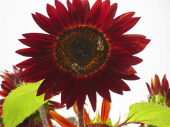 One Awesome Red Sunflower!
