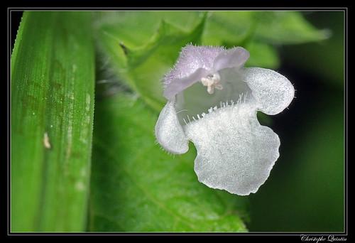 Epiaire des champs (Stachys arvensis)