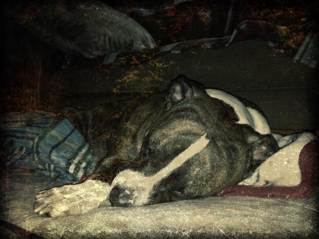 AMERICAN PIT BULL TERRIER RARE VINTAGE BOOK THE COMPLETE ...  |American Pit Bull Terrier Vintage
