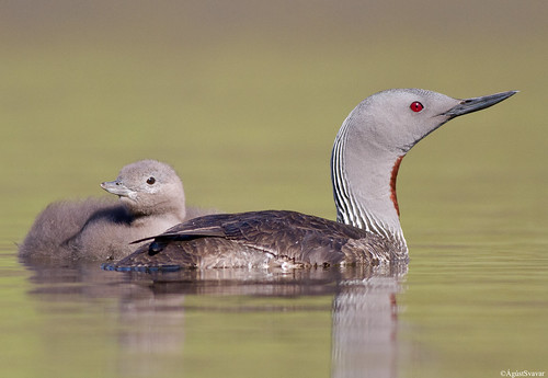 Red-throated Diver (Lómur)