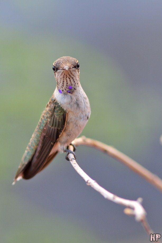 immature male Black Chinned Hummingbird 072312