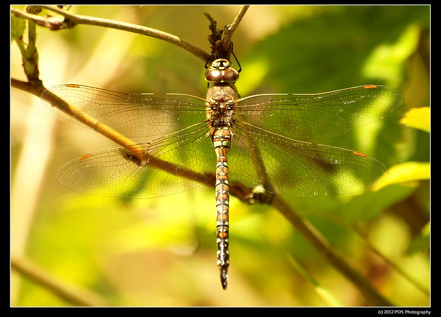 Female Blue-eyed Darner (Aeshna multicolor)