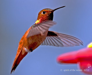The Male Rufous