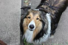dog breed, animal, dog, mammal, collie, shetland sheepdog,