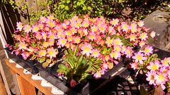 Lewisia tweedy (or Lewisiopsis tweedyi) fron Fringe Nursery
