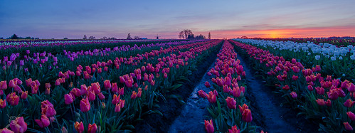 flowers oregon spring nikon tulips blossoms sunsets woodenshoe woodburn 2014 willamettevalley d7000