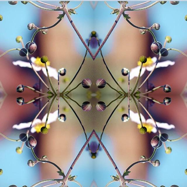 2016-05-03 symmetrical windflower 2