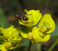 Ant on cypress spurge