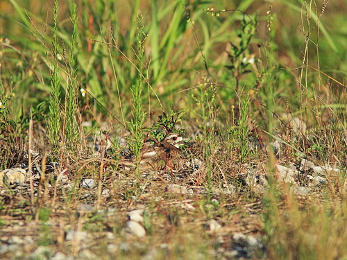 Killdeer incubating 5-20160529