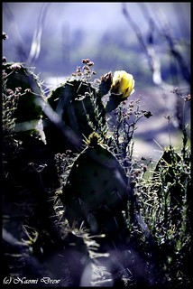 Prickly Pear Flower 1