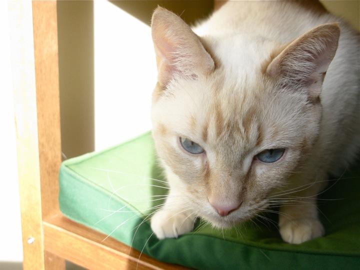 white siamese blue eyes cat