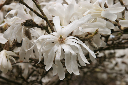 Magnolia - Spring at the Ballard Locks - Seattle