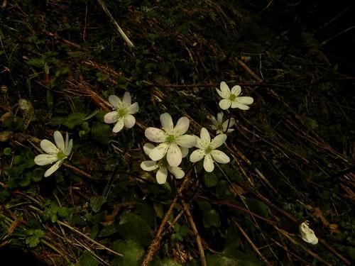 Hépatique à trois lobes=Hepatica nobilis