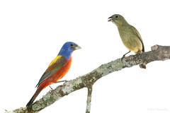 Male(L) and Female(R) Painted Buntings(wild)