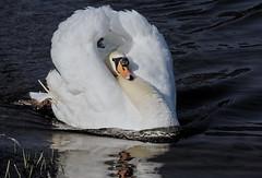 [フリー画像素材] 動物 2, 白鳥・ハクチョウ ID:201203290400