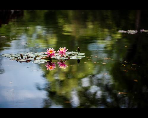 usa flower macro reflection sc water gardens spring lily lotus blossom southcarolina petal filter lee bloom polarizer lilypad circular brookgreen murrellsinlet sigma150mmf28exapodghsmmacro