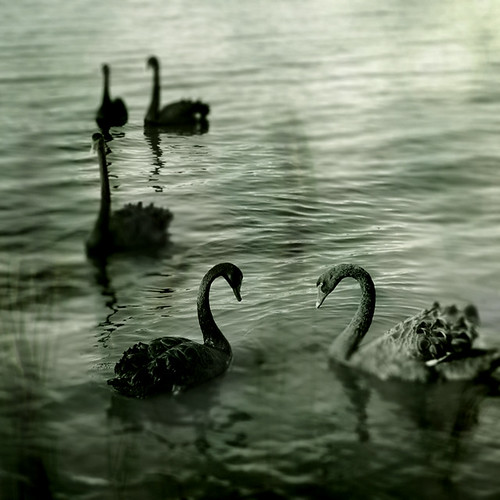 Black Swans by 2chanze