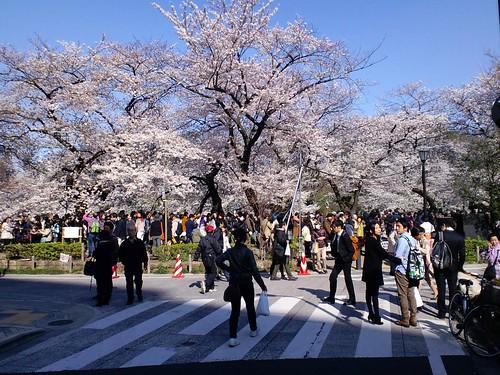 Cherry blossoms, Chidori-ga-fuchi