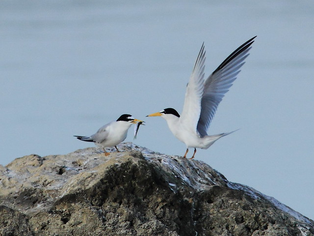 Least Tern courtship 3-20120419