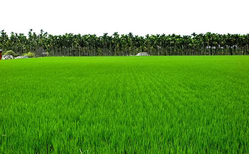 Southern Taiwan Rice Paddy