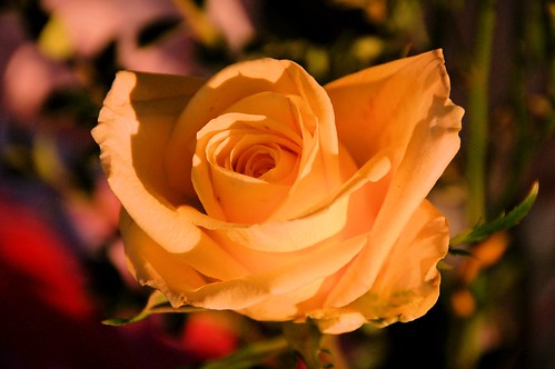 Yellow Rose photo by Rose Braverman Molokai Hawaii