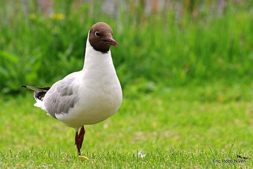 Black faced Gull (on one leg)