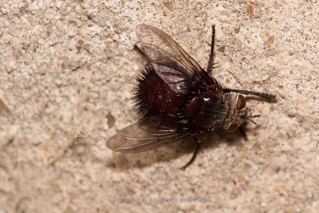 nasty fat fly in my basement flickr photo sharing