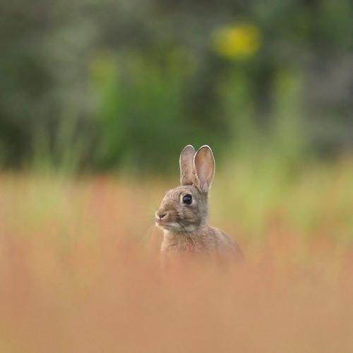 European rabbit - Explored front page -