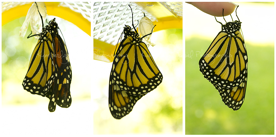 Monarch-collage2
