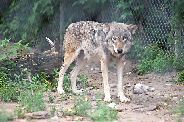 Coyote Wolf Hybrid | Flickr - Photo Sharing!