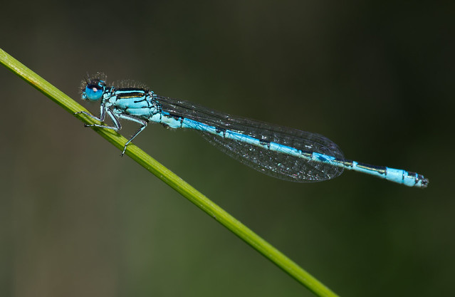 Southern blue damselfly Coenagrion mercuriale 6