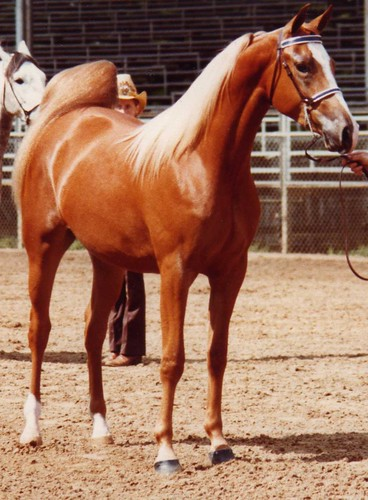 img036_LaStrada_1981_April_Ocala_Grand_Champ_Gelding
