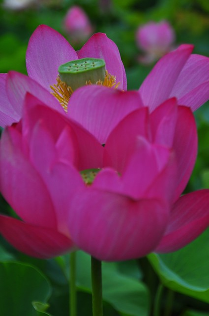 Lotus Blossoms at Bongwon Temple in Seoul