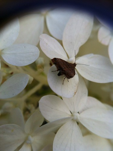 UnID'd moth on Hydrangea limelight
