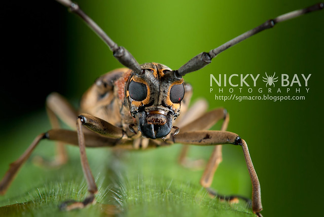 Longhorn Beetle (Cerambycidae) - DSC_6233