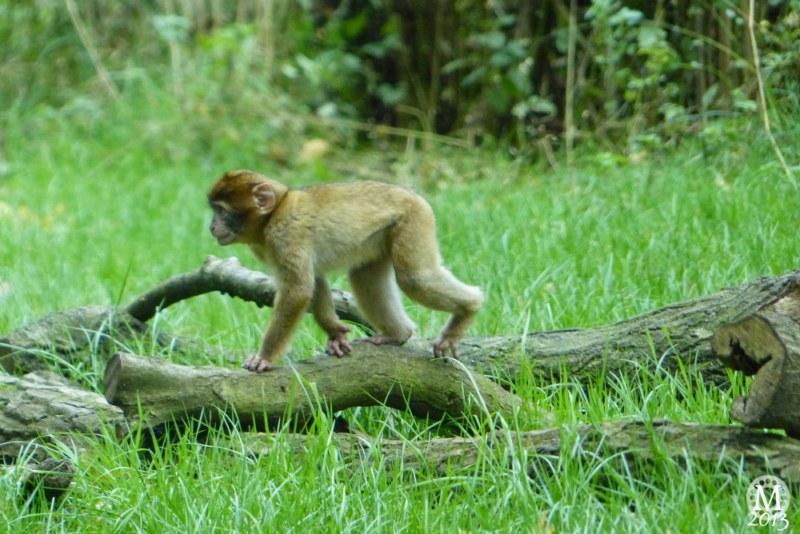 Patas Monkey & Barbary Macaque Enclosure