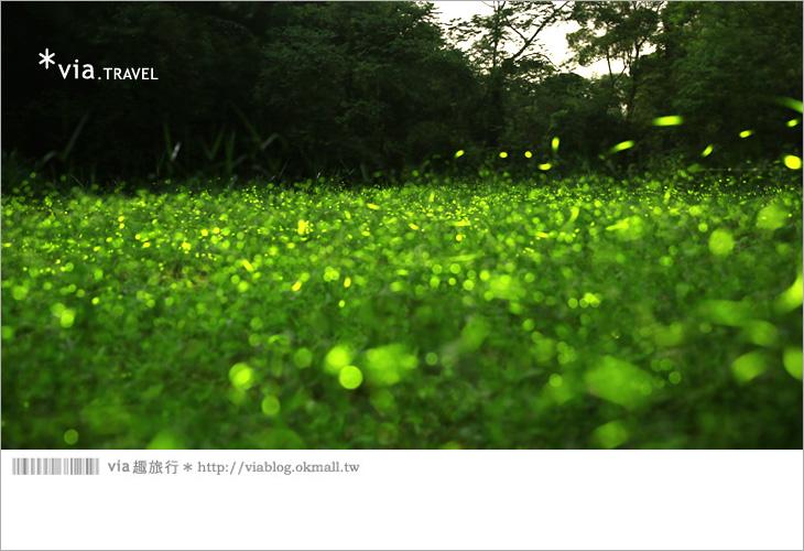 【台中螢火蟲】東勢林場螢火蟲~賞螢必遊!滿滿的螢火蟲閃爍夢幻光芒11